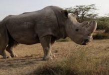 Sudan Is No More: Last Northern Male White Rhino Dies