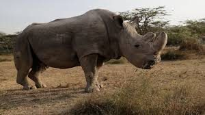 Sudan Is No More: Last Northern Male White Rhino Dies