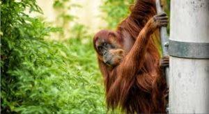 Sumatran Orangutan Puan Dies